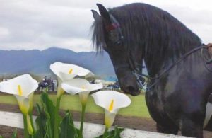 Tulbagh_Horse_and_Wild_Flower_show