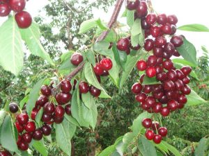 cherry picking - a great thing to do near Tulbagh